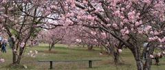 34ª Festa das Cerejeiras em Flor