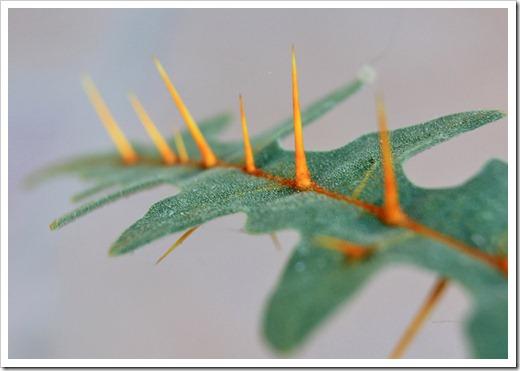 120630_Solanum-pyracanthum_19