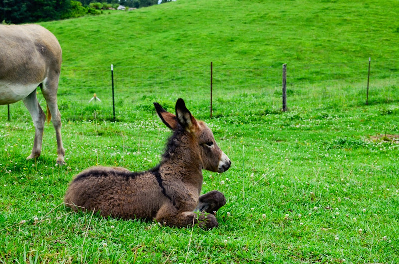 little donkey-12084