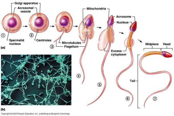 spermiogenesis