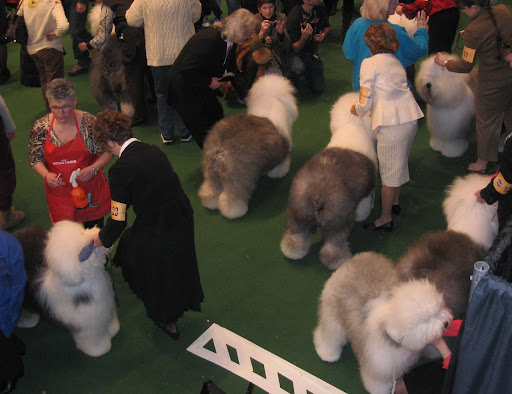 Fluffy and happy-go-lucky Old English Sheepdogs wait for their turn in the breed ring.