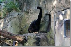 Binturong, Taronga Zoo