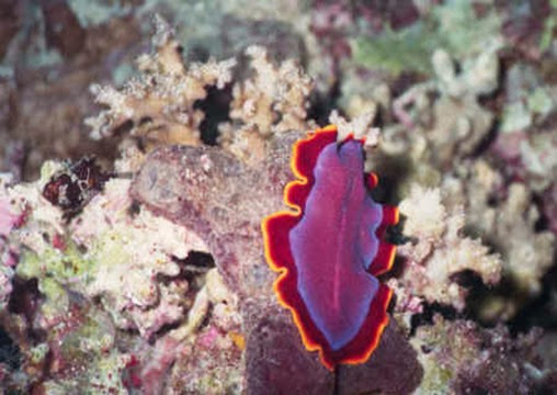 Amazing Pictures of Animals, Photo, Nature, Incredibel, Funny, Zoo, Pseudoceros ferrugineus, Fuchsia flatworm, flatworm, Alex (11)