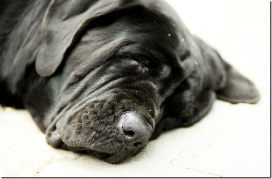 My dog Neapolitan Mastiff called Messi, sleeping after hard day at work.
