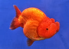 Amazing Pictures of Animals, Photo, Nature, Incredibel, Funny, Zoo, Ranchu, Goldfish, Alex (12)