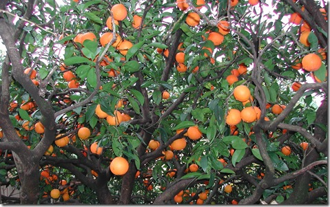 Washinton Navel eating oranges bearing in mid-winter on the Adelaide Plains in South Australia