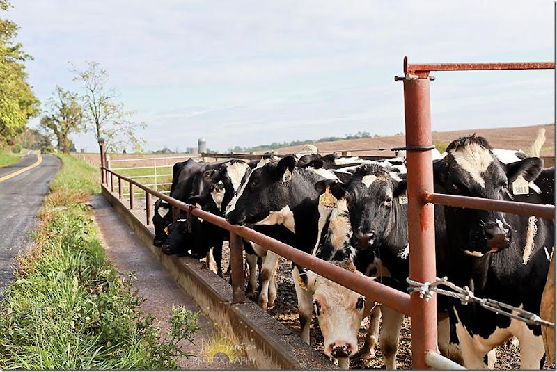 cows-9787