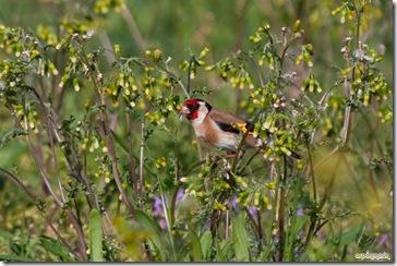 Recoleccion de semillas tiernas para alimentar a las crias.
