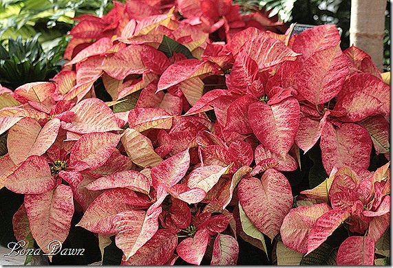 Poinsettia_TieDye_Dec2