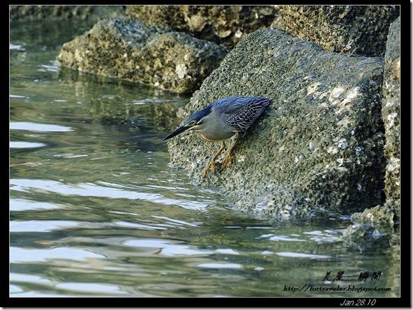 綠簑鷺(2010-01-27)4504
