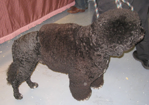 Could Presidential Pooch Bo Obama be related to this Portuguese Water Dog?