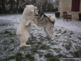 Munson  & Legend play in snow (2)
