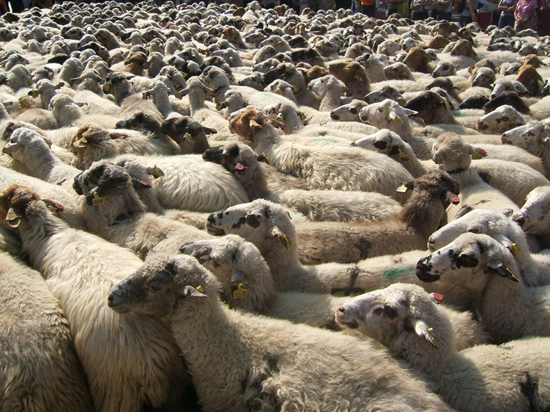 sheep-protest-4