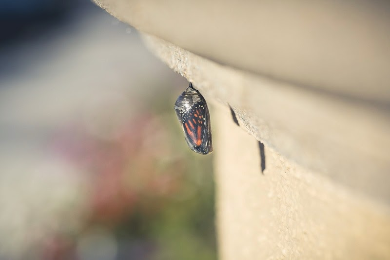 emerging monarchs-4