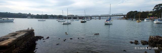 A brace of Munsons swimming west of Iron Cove bridge