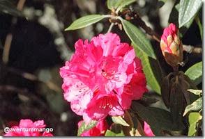 Rododendro - Flor nacional do Nepal