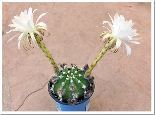 120603_echinopsis-subdenudata_09