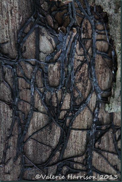 19-toadstool-mycelium
