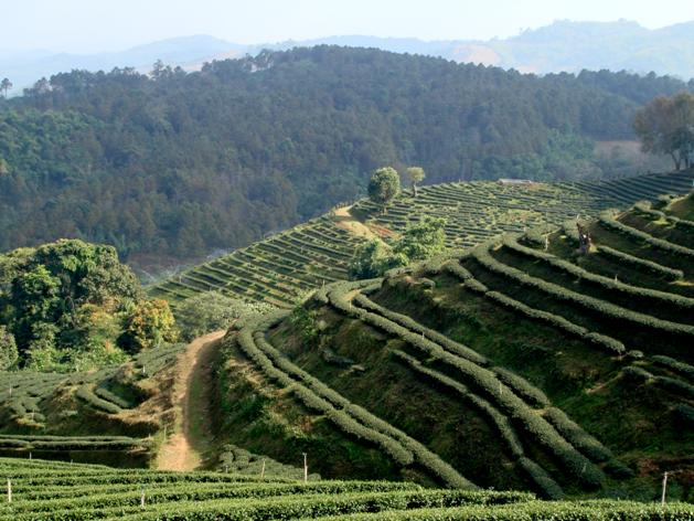 Tea-Plantation-Mae-Salong1.jpg
