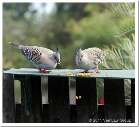 PigeonsIMG_1187 (2)