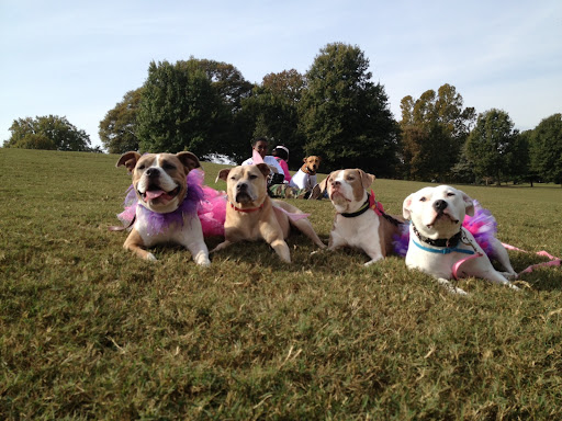 Piggie (on far right) poses with a posse of adopted pitties in tutu's at pittie pride day in Atlanta, Ga. (Check out rescuer Rachel's great blog at Sleepswithdogs.net and don't miss TutuTuesday's!)