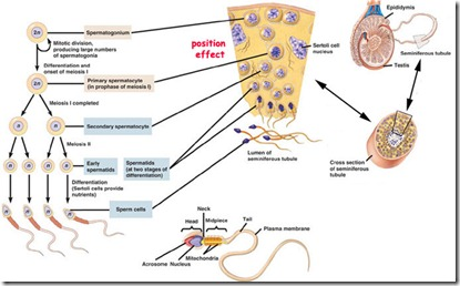 c7.46.12.spermatogenesis