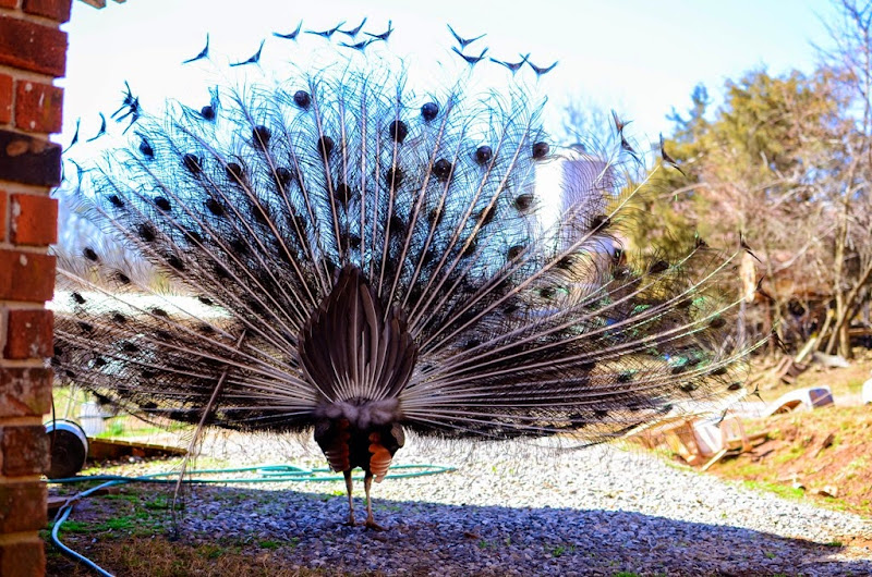 peacock-19474