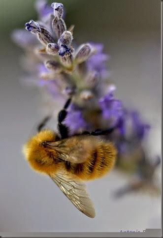 5 Mi amigo el abejorro _DSC9148x1