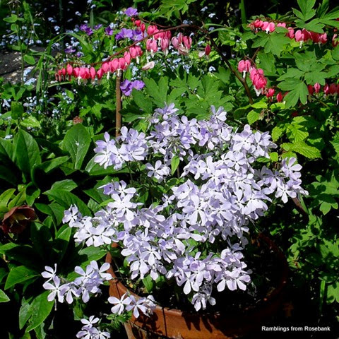 dicentra and phlox