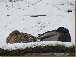 IMG_2853 ducks
