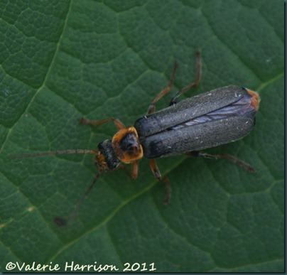 soldier-beetle Cantharis nigricans