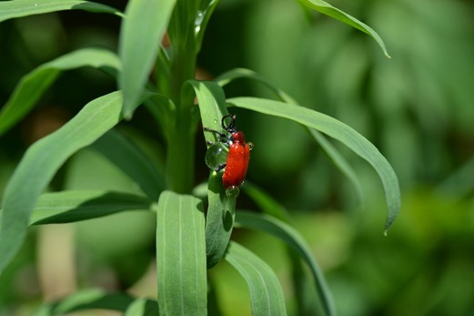 Red lily beetle or Lily beetle - Lilioceris lilii