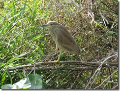Black-Crowned Night-Heron Female