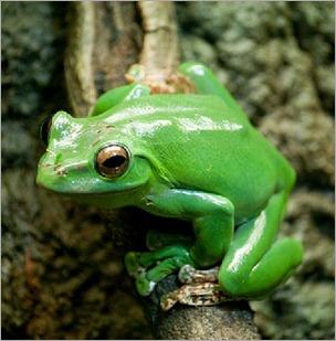 frog_eviltomthai - copia