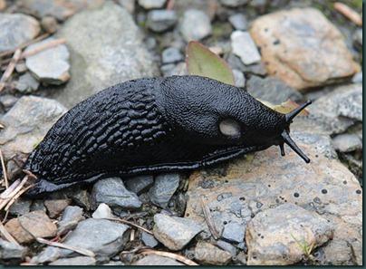24-large-black-slug