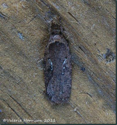 agonopterix heracliana or ciliella-3