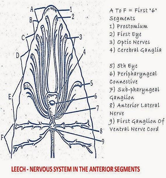 Hirudinaria-nervous system