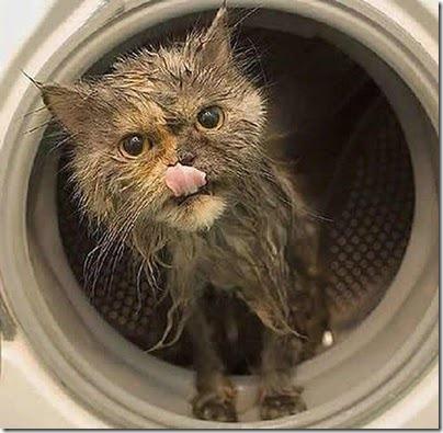 gato-recien-lavado-a-maquina