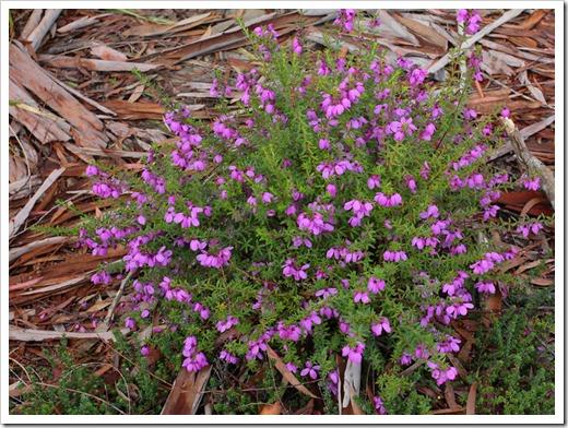 120211_UCSC_Arboretum_Tetratheca-thymifolia_03