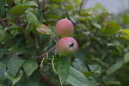 Franny, I heard on the radio this morning that the apple industry in many parts of the country is having major problems with its crop.  It all started with a mild fall, followed by a mild winter with lots of rain and little snow.