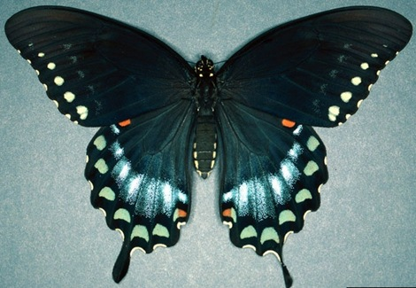 Spicebush%20Swallowtail%20(2)