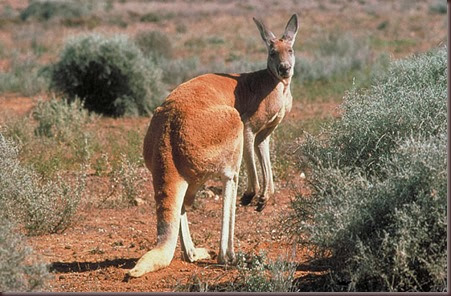 Amazing Animal Pictures Kangaroo (3)