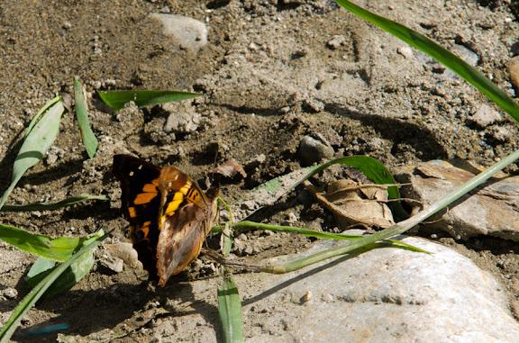 Doxocopa elis (C. & R. FELDER, 1861). Près de Coroico à 1000 m d'alt. (Yungas, Bolivie), 14 octobre 2012. Photo : C. Bassethttp://butterfliesofamerica.com/L/t/Doxocopa_elis_a.htm