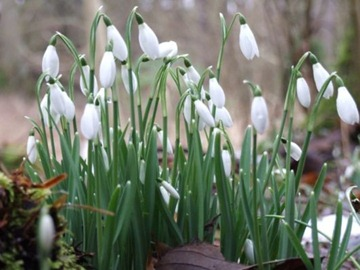 SNOWDROPS003745