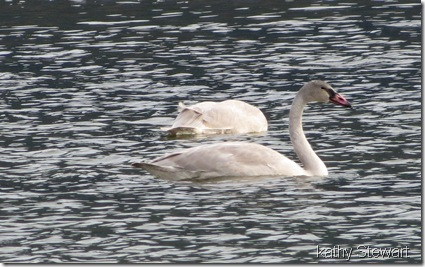 3 Young Trumpeter Swans and a Common Merganser