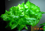 6 week summercrisp lettuce now harvesting - slow, turned off the furnace mostly