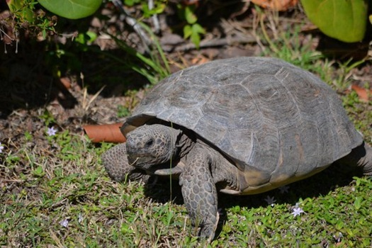 Gopher Tortoise