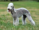la sauvagette Bedlington Terrier