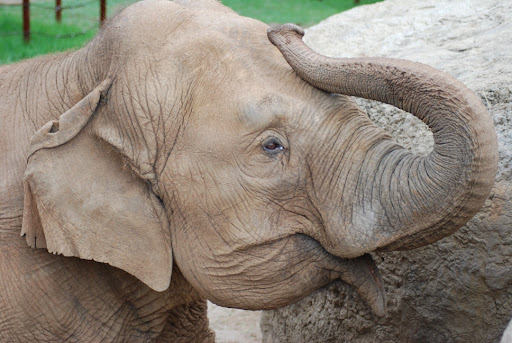 The 60-year-old female elephant, Ol' C.C, at Dickerson Park Zoo.  Photo courtesy of Dickerson Park Zoo.