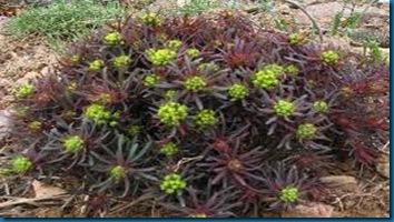 Euphorbia - Cypress Spurge'